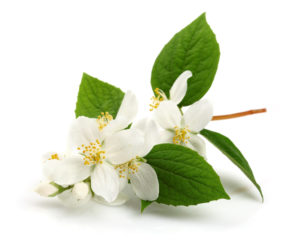 http://obatherbalnusantara.com/fakta-manfaat-dan-efek-samping-daun-melati-untuk-kesehatan/